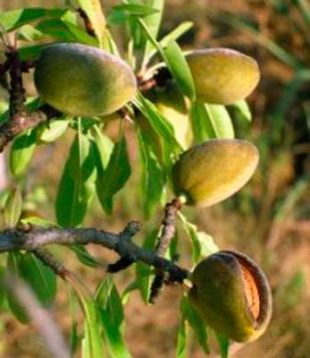 Растение миндаль