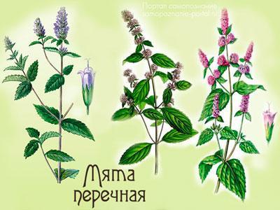 Растение мята перечная