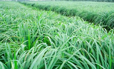 Растение цитронелла