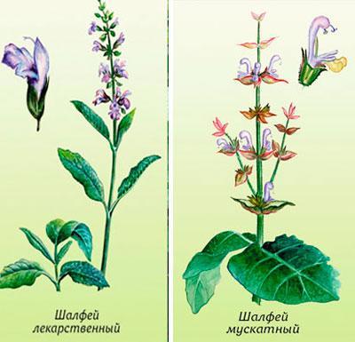 Растения шалфей лекарственный и шалфей мускатный