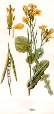 Растение рапс