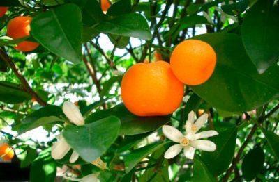 Плоды и цветы мандарина