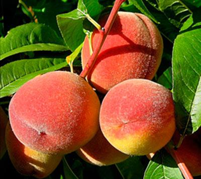 Растение персик